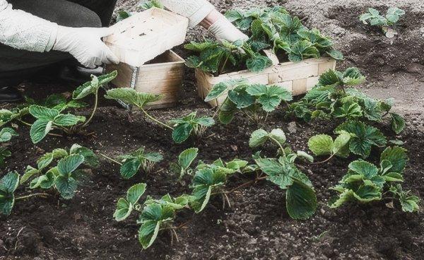 Особенности посадки клубники осенью и ухода за ней