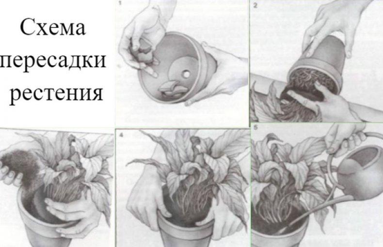 цветок, белопероне, уход, размножение, домашний