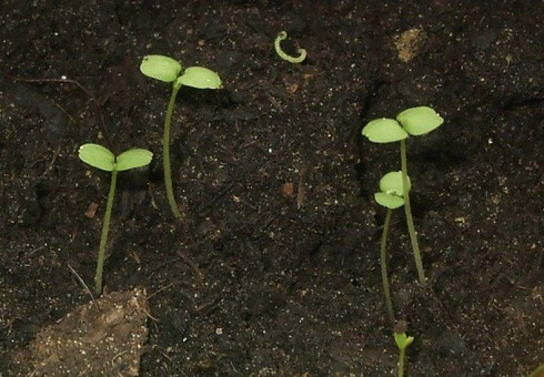 Азарина лазающая выращивание из семян, уход, когда сажать, фото