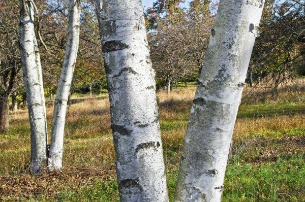 Целебные свойства коры почек и листьев березы