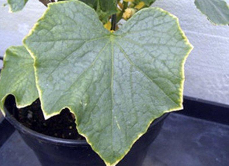 У огурцов желтеют и сохнут листья по 3 причинам | Дачный участок | 572x790