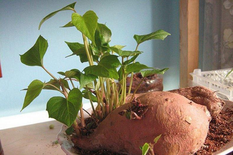 Горизонтальное проращивание батата