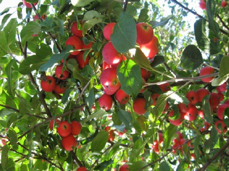Сорт яблони «Ветеран»