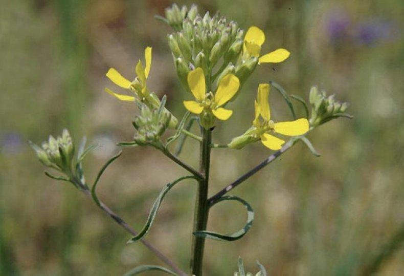 трава, желтушник, описание, лечебный, противопоказание, лечение