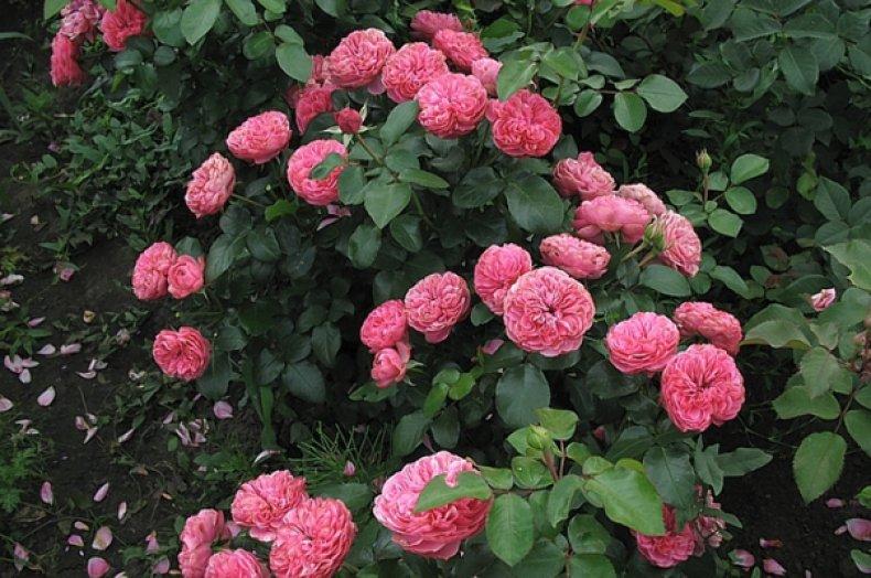 Роза «Леонардо да Винчи»