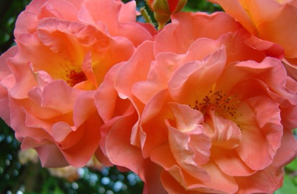 Роза парковая вестерленд посадка и уход