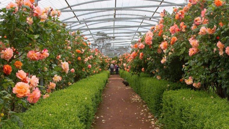 парковый, роза, вестерленд, описание