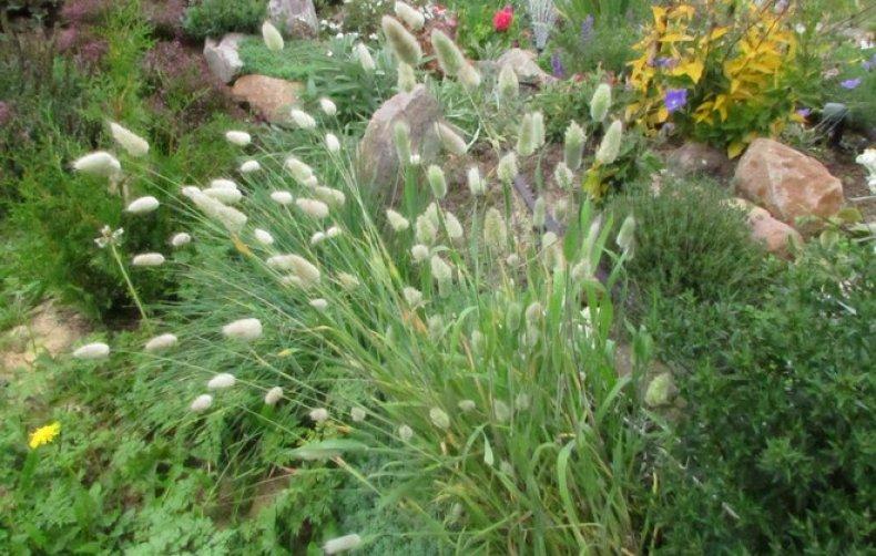 заячий хвост растение фото