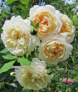 Роза «Крокус Роуз»: история сорта, выращивание и уход
