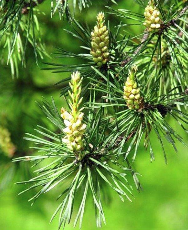Хвоя сосны: полезные свойства и противопоказания, лечение, отвар и настойка