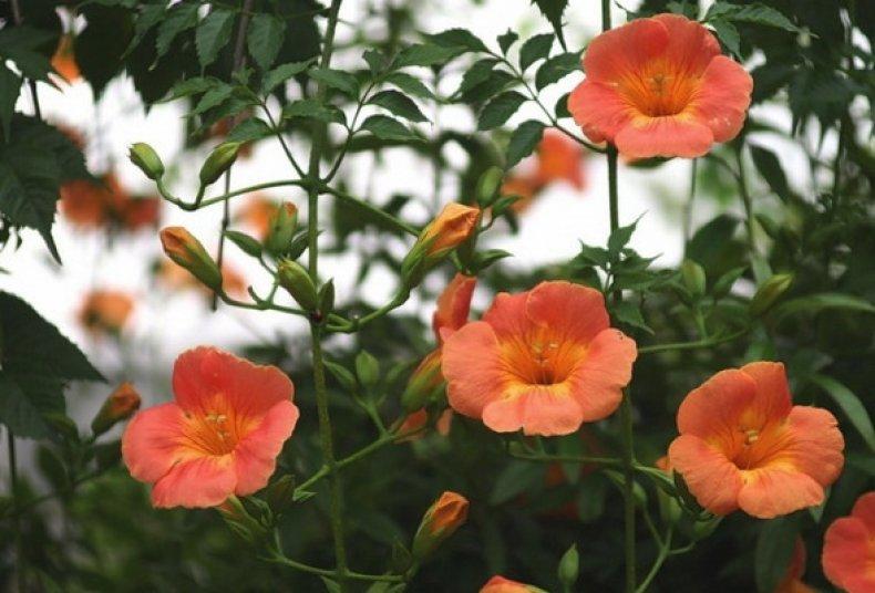 Капсис крупноцветковый