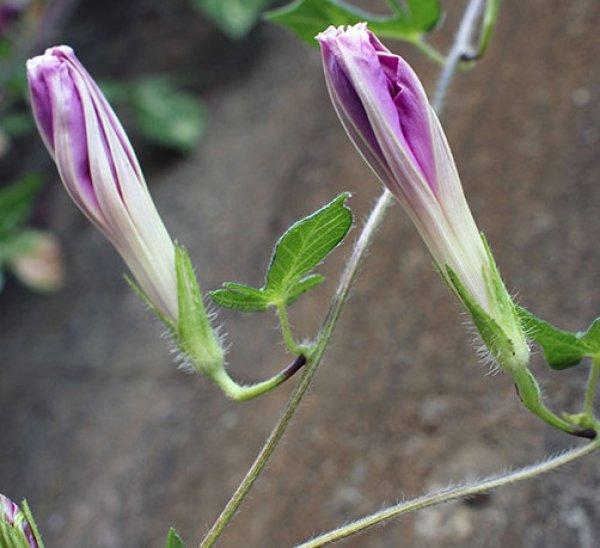 Калистегия (повой) – фото, выращивание, посадка и уход