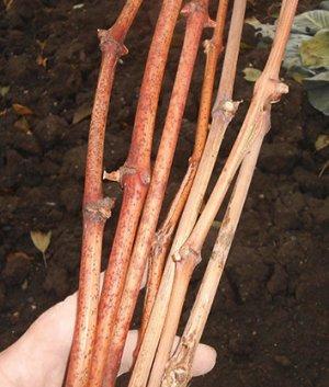 Что такое и как вырастить виноград из чубука?