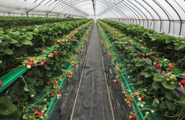 Выращивание каллы в теплице круглый год 16