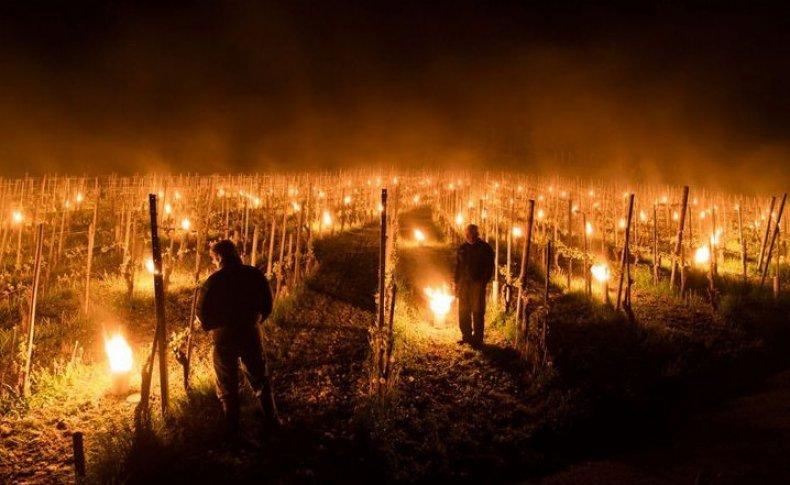 Костры в винограднике