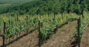 Как посадить виноград черенками осенью
