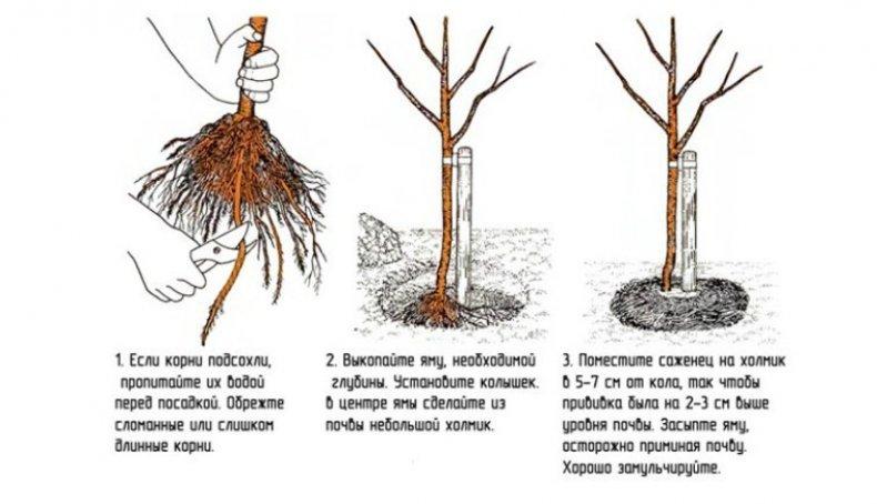 Слива посадка и уход в открытом грунте в ленинградской области