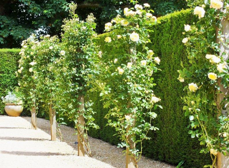 Английская роза «Пилигрим»