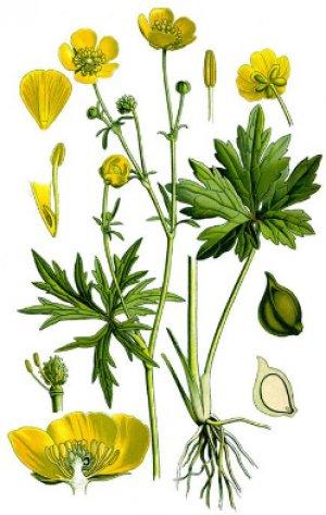 Лютик едкий Ranunculus acris