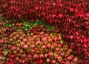 Размножение черенками девичьего винограда