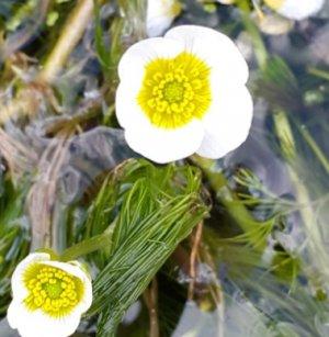 Белый лютик Ranunculus aquatica