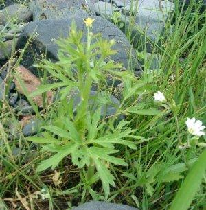 Лютик многоцветковый Ranunculus polyanthemos