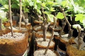Виноград из чубуков