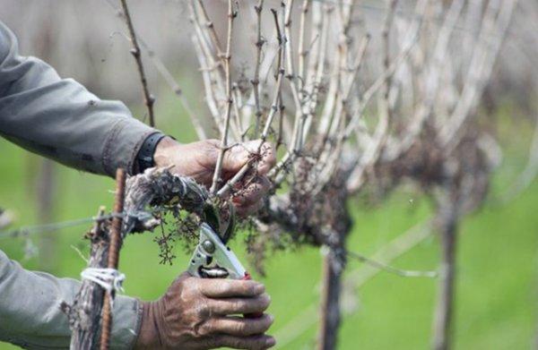 Обрезка винограда на зиму: основные правила и рекомендации - Деревья и кустарники