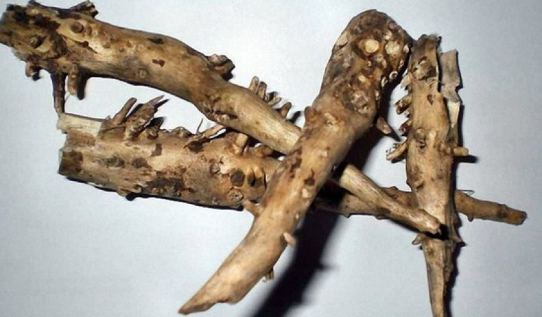 корень подсолнуха