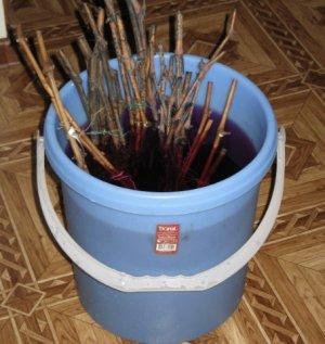 Обработка черенков в растворе марганцовки