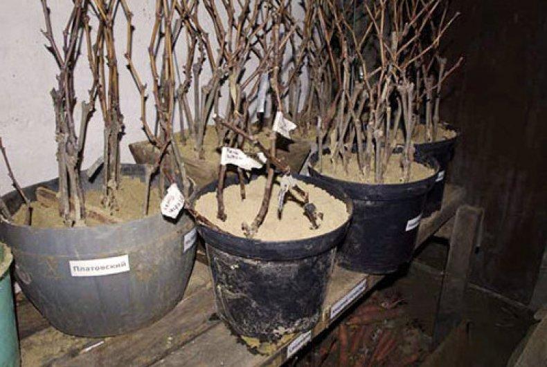 хранение черенков винограда в погребе в песке
