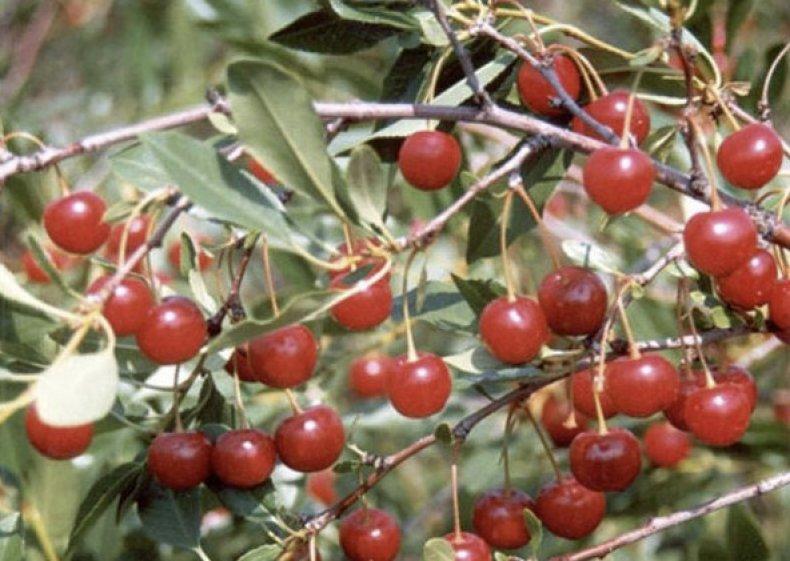Плоды вишни степной