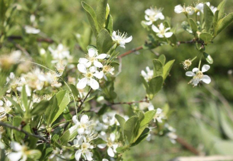 Цветение вишни степной