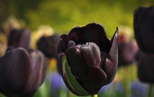 Черные тюльпаны: основные <b>сорта</b>, фото, особенности выращивания