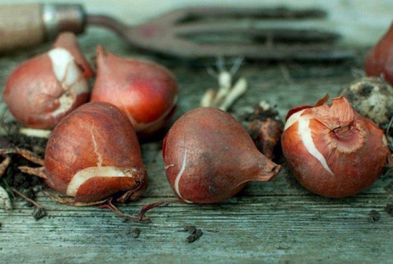 Правильное хранение луковиц после цветения