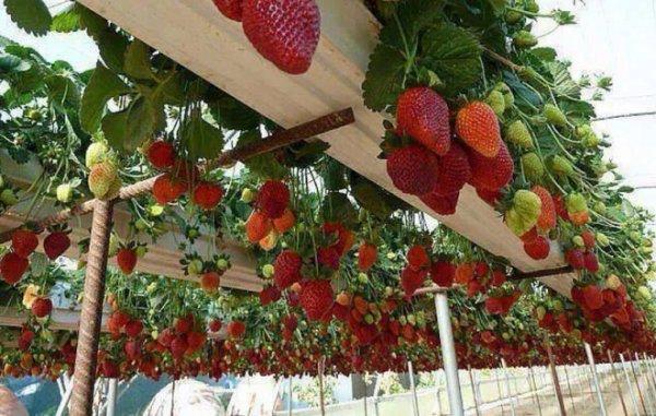Выращивание клубники по голландской системе 15