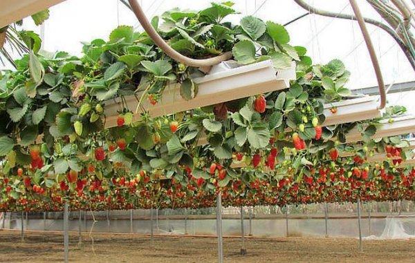 Выращивание клубники по голландской системе 95