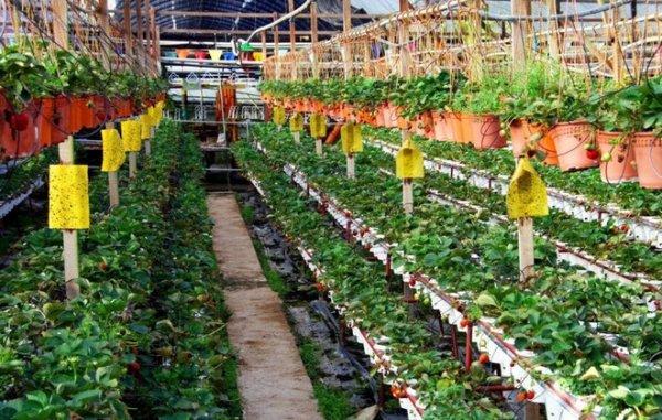 Выращивание каллы в теплице круглый год 32