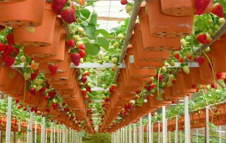 Выращивание каллы в теплице круглый год 66