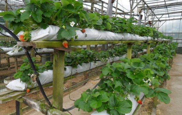 Голландская система выращивания 96
