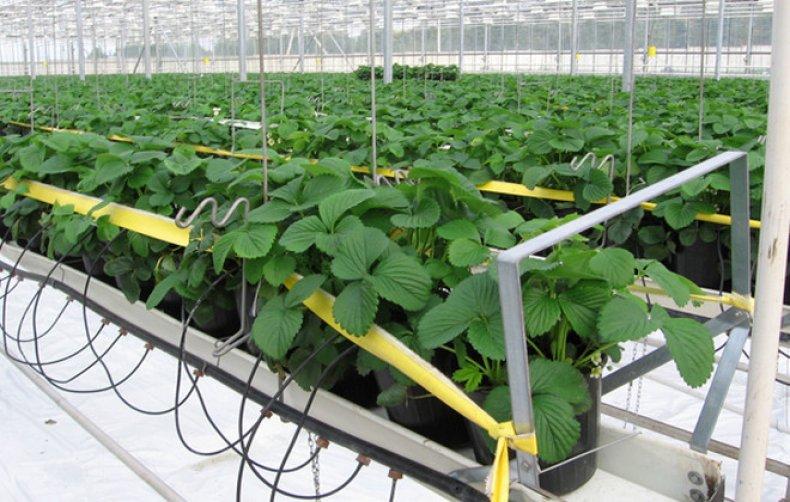 Выращивание каллы в теплице круглый год 41