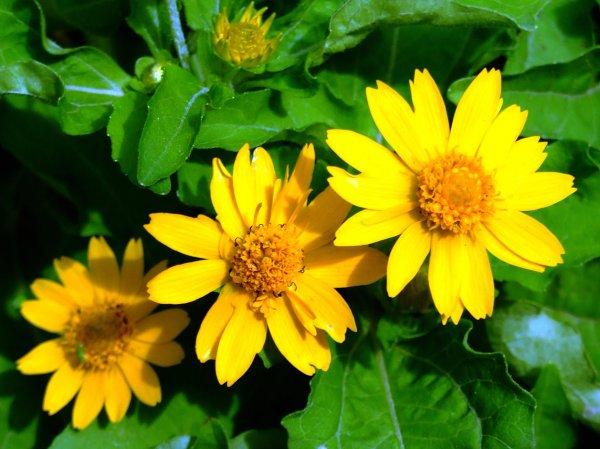 Венидиум или Арктотис? Выращивание венидиума из семян. Венидиум пышный