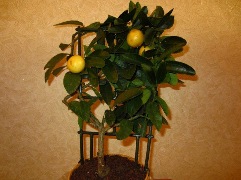 цитрус, лаймкват, ботанический, описание