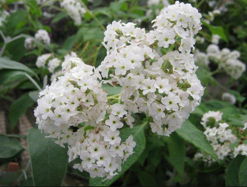 Heliotropium white lady