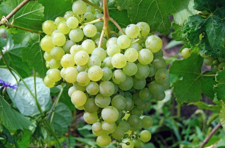 Виноград сорта Алешенькин