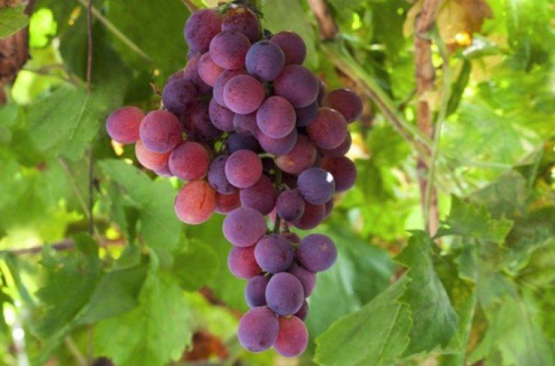 виноград юпитер в подмосковье отзывы