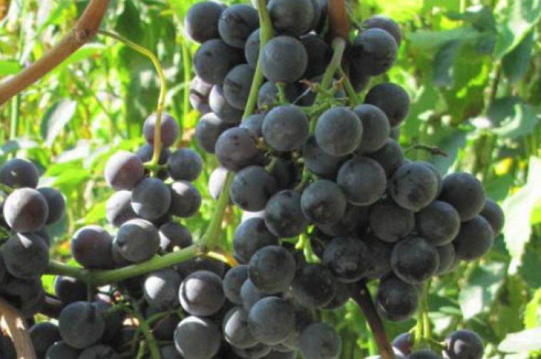 Виноград сорта Буффало