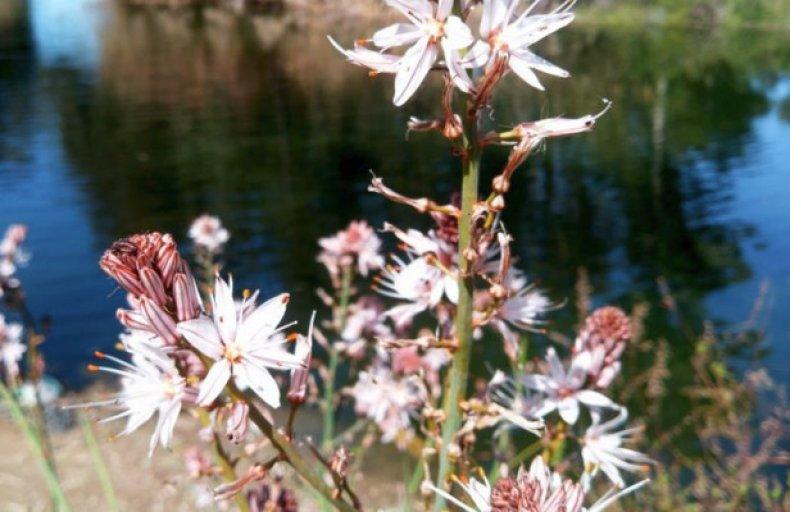 Асфодель, или цветок смерти выращивание, уход, применение