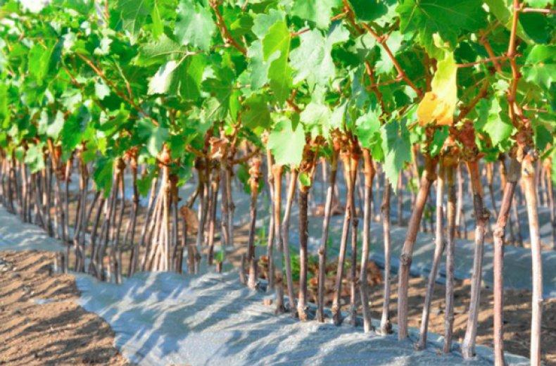 Выращивание винограда в школке