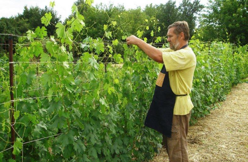 Виноград в школках